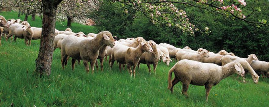 sheeps 880x350